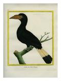 Tarictic Hornbill Impression giclée par Georges-Louis Buffon