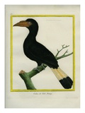 Tarictic Hornbill Giclee Print by Georges-Louis Buffon