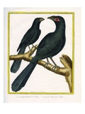 The Large Smooth Billed Ani and the Small Smooth Billed Ani Reproduction procédé giclée par Georges-Louis Buffon