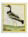 Southern Lapwing Reproduction procédé giclée par Georges-Louis Buffon