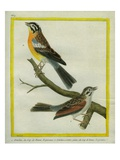 Shrike and L'Ortolan À Ventre Jaune Du Cap De Bonne-Espérance Giclee Print by Georges-Louis Buffon