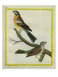 Shrike and L'Ortolan À Ventre Jaune Du Cap De Bonne-Espérance Giclee Print by Georges-Louis Buffon