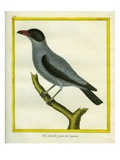 Grey Shrike-Thrush Giclee Print by Georges-Louis Buffon