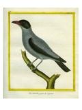 Grey Shrike-Thrush Giclee Print by Georges-Louis Buffon