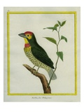 Coppersmith Barbet Giclee Print by Georges-Louis Buffon