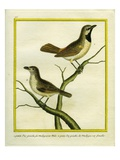 Male and Female Madagascar Cuckooshrike Reproduction procédé giclée par Georges-Louis Buffon