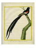 Jackson's Widowbird Giclee Print by Georges-Louis Buffon
