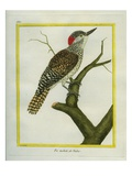 Nubian Woodpecker Giclee Print by Georges-Louis Buffon