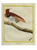 King Bird-Of-Paradise Reproduction procédé giclée par Georges-Louis Buffon