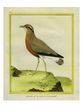 Indian Courser Giclee Print by Georges-Louis Buffon