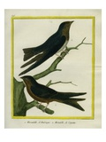 Purple Martin and Lesser Swallow-Tailed Swift Giclee Print by Georges-Louis Buffon