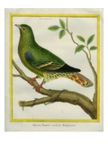 Madagascar Green Pigeon Giclee Print by Georges-Louis Buffon