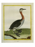 Red-Necked Grebe Giclee Print by Georges-Louis Buffon