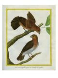 Fan-Tailed Grosbeak Giclee Print by Georges-Louis Buffon