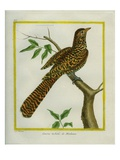 Great Spotted Cuckoo Reproduction procédé giclée par Georges-Louis Buffon