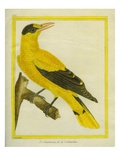 Black-Naped Oriole Reproduction procédé giclée par Georges-Louis Buffon
