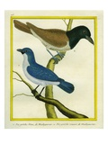 Blue Vanga and Rufous Vanga Reproduction procédé giclée par Georges-Louis Buffon