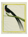 Red-Collared Widowbird Giclee Print by Georges-Louis Buffon