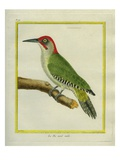 Male European Green Woodpecker Reproduction procédé giclée par Georges-Louis Buffon