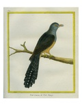 Philippine Cuckoo-Dove Reproduction procédé giclée par Georges-Louis Buffon
