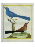 Madagascar Cuckoo and Blue Coua Reproduction procédé giclée par Georges-Louis Buffon