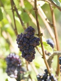 Pinot Noir Grapes on the Vine, New Zealand Photographic Print by Myles New