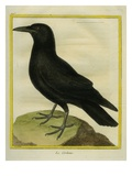 Common Raven Giclee Print by Georges-Louis Buffon