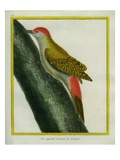 Grey Woodpecker Giclee Print by Georges-Louis Buffon