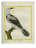 Le Cassique De La Louisiane (Oropendola) Giclee Print by Georges-Louis Buffon