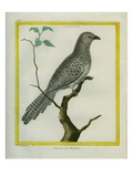 Black-Headed Cuckoo-Shrike Reproduction procédé giclée par Georges-Louis Buffon