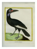 Abyssinian Ground Hornbill Giclee Print by Georges-Louis Buffon