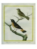 And Yellow-Tailed Oriole Giclee Print by Georges-Louis Buffon