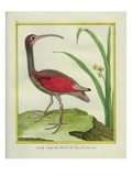 The Brazilian Red Curlew Reproduction procédé giclée par Georges-Louis Buffon