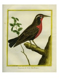 Magellanic Starling Giclee Print by Georges-Louis Buffon