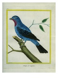Spangled Cotinga Giclee Print by Georges-Louis Buffon