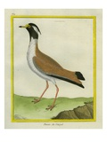 Black-Headed Lapwing Reproduction procédé giclée par Georges-Louis Buffon