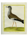 Crowned Lapwing Giclee Print by Georges-Louis Buffon