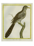 Asian Koel Reproduction procédé giclée par Georges-Louis Buffon