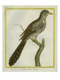 Asian Koel Reproduction procédé giclée par Georges-Louis Buffon