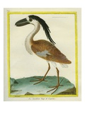 Boat-Billed Heron Giclee Print by Georges-Louis Buffon
