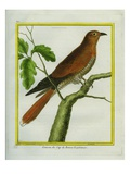 African Cuckoo Reproduction procédé giclée par Georges-Louis Buffon