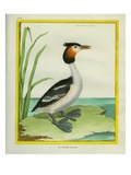 Horned Grebe Giclee Print by Georges-Louis Buffon
