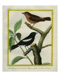 Male and Female Isabelline Wheatear Giclee Print by Georges-Louis Buffon