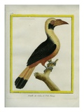 Female Tarictic Hornbill Impression giclée par Georges-Louis Buffon