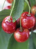 Sweet Cherries on the Branch Photographic Print by Vladimir Shulevsky