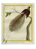 Bird-Of-Paradise Reproduction procédé giclée par Georges-Louis Buffon