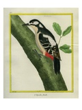 Female Great Spotted Woodpecker Giclee Print by Georges-Louis Buffon