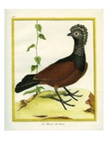 The Black Curassow Giclee Print by Georges-Louis Buffon