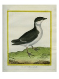 Female Guillemot Giclee Print by Georges-Louis Buffon