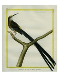 Cape Sugarbird Giclee Print by Georges-Louis Buffon